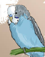 Budgie by mygy