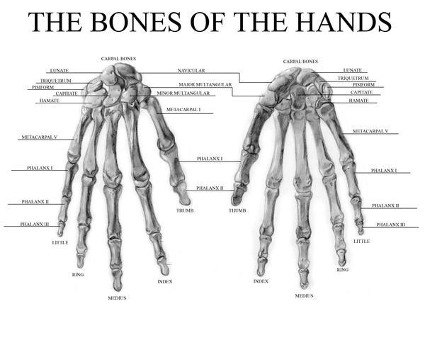 The Bones of the Hands by Gundamjack on DeviantArt