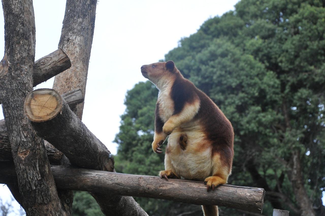 Tree Kangaroo with Joey by cyberia-rwc on DeviantArt