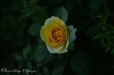 Rose of friendship