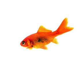 Goldfish 1600x1200 by Kira-R