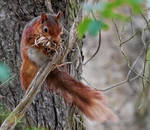 British Red Squirrel