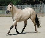 Quarter horse 1