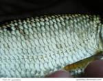 Fish 20_quaddles