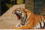 Tiger 32_quaddles