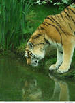 Tiger 17_quaddles
