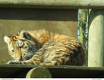 Tiger 27_quaddles