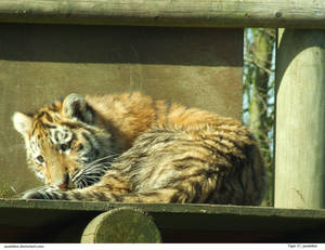 Tiger 27_quaddles by quaddles