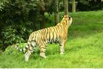 Tiger 30_quaddles