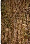 Tree Bark 128_quaddles 150th Wood texture