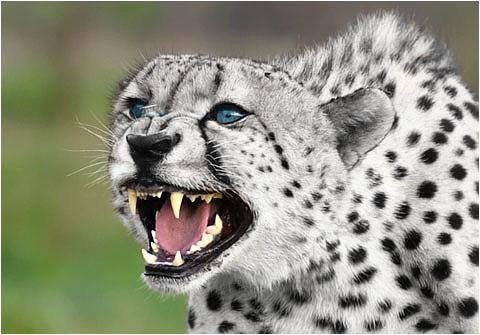 White Cheetah by Renescence on DeviantArt
