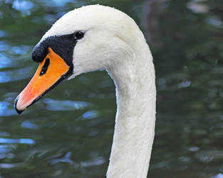 Surprise Swan by Faeiii