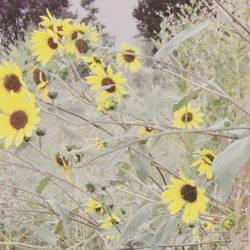 Sunflowerz