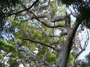 Gangly gum tree