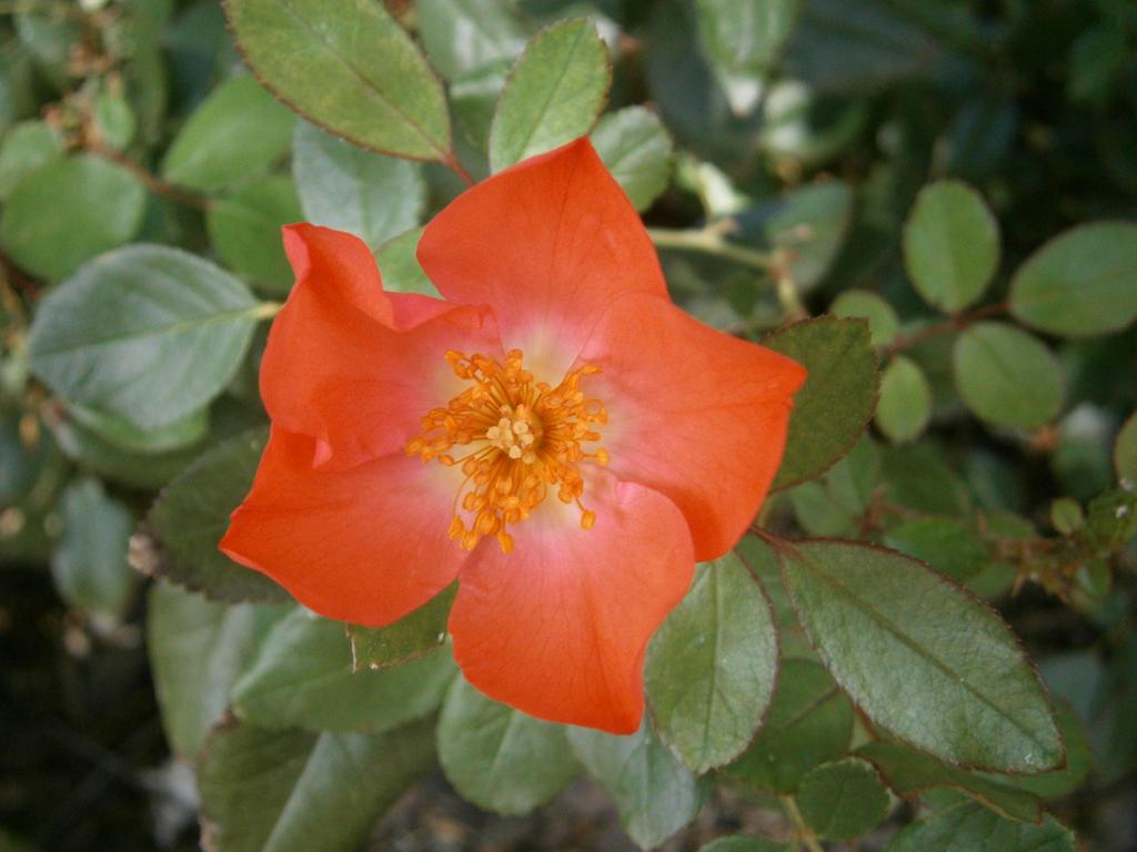 Single rose 5 petals by doodlebertdesigns on deviantart for Individual rose petals