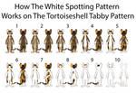 White Spotting on Brown Torbie Pattern