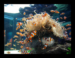 Clown Fish 1 by Gazandkim