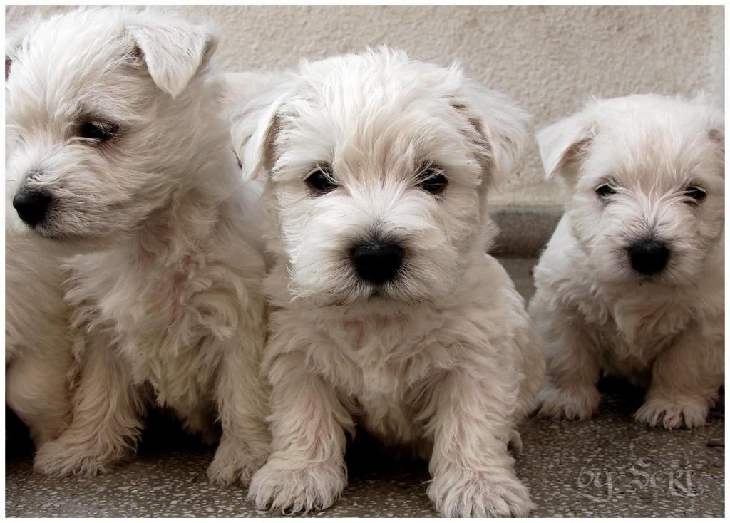 Zee Puppies by serjh2