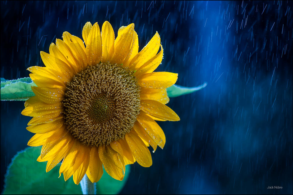 Sunflower 3 by Jack-Nobre
