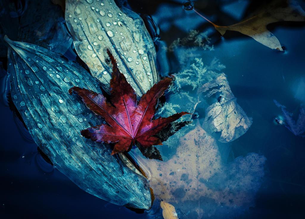Red Leaf by Jack-Nobre