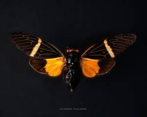 Cicadae Thailande