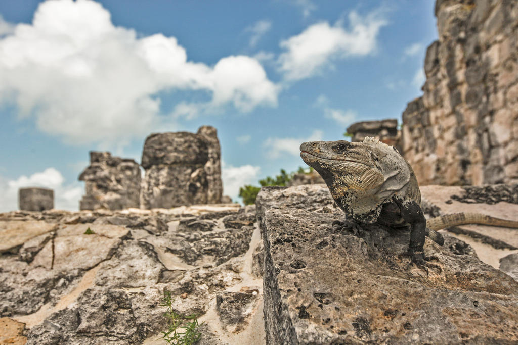 Wild Iguana by kanokus