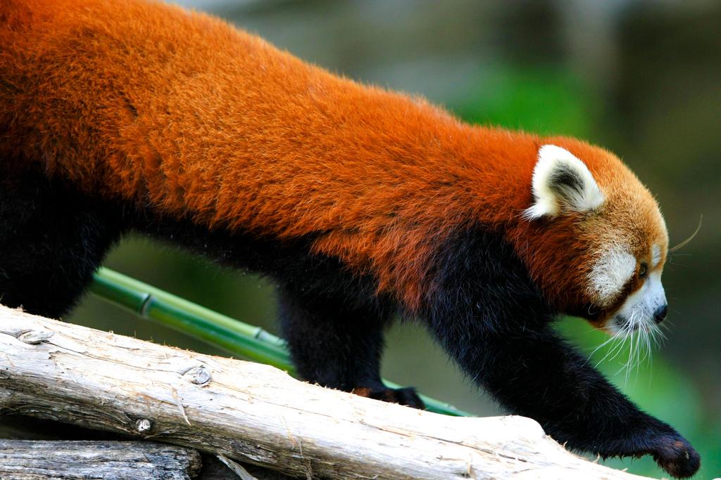 Red Panda by kanokus