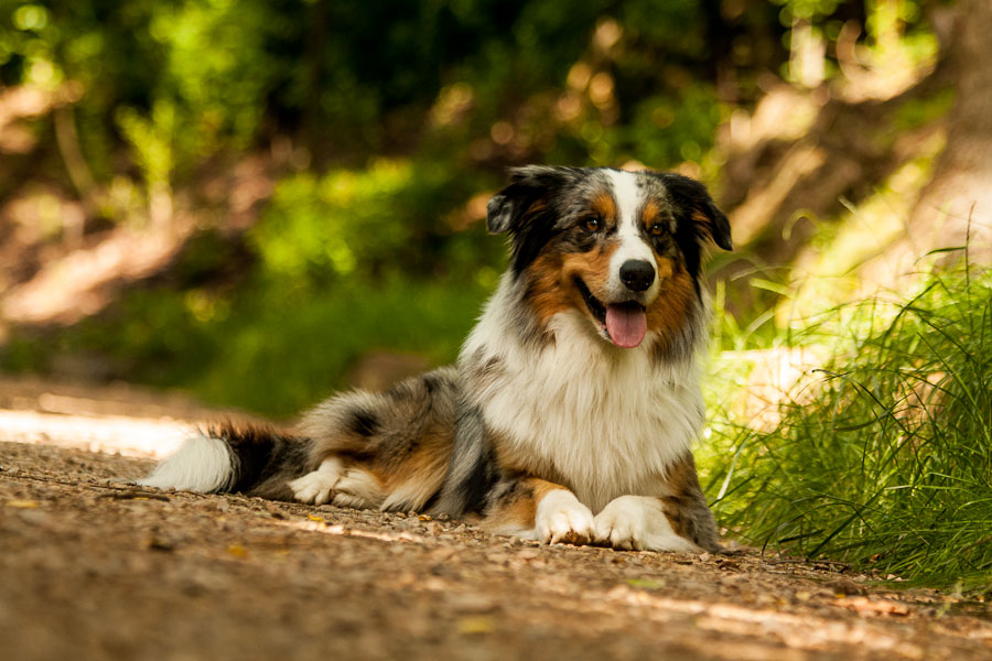 Collie Australia  city pictures gallery : Australian shepherd x Border collie by Bahroona on DeviantArt