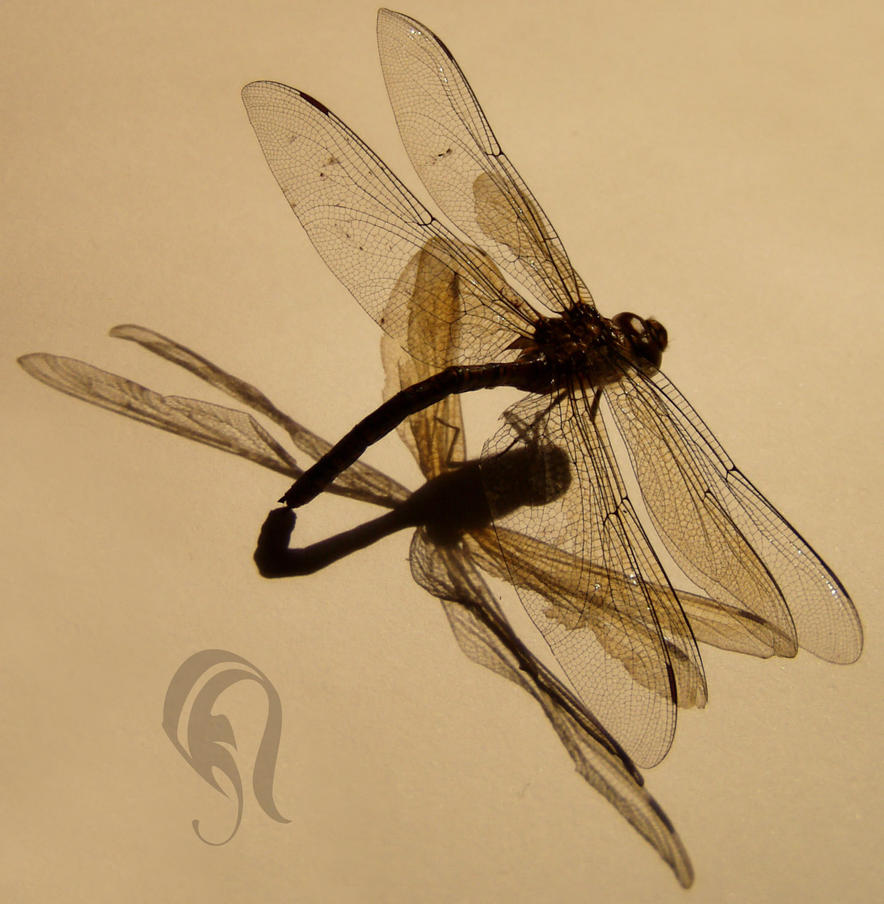 Photo - DragonFly - 1622 by resurgere
