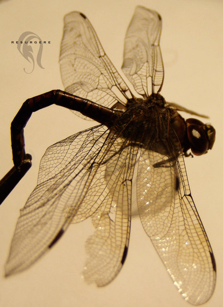 Photo - DragonFly - 1623 by resurgere