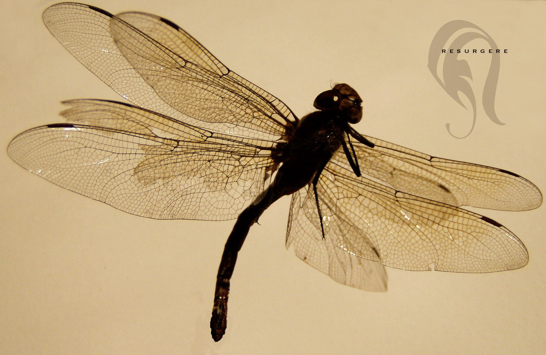 Photo - DragonFly - 1624 by resurgere