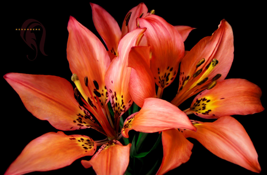 Photo - Lilium - 691 by resurgere
