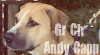 Game Dog Stamp- Gr Ch Hall's Andy Capp by Pit-Fall