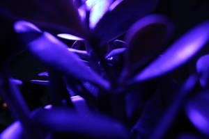 Miku purple