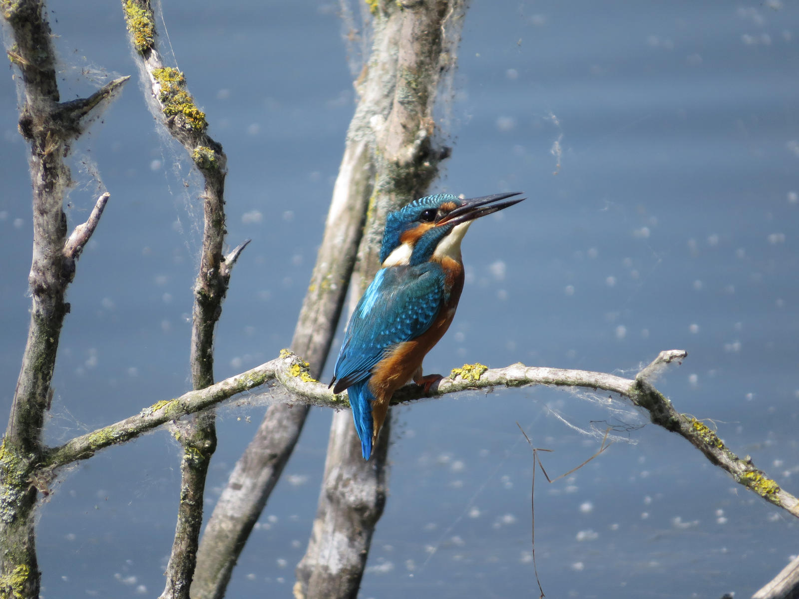 Common Kingfisher by HammerPhotography