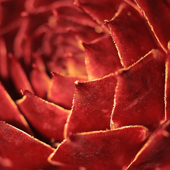 Deep Red Cactus by switch-sgfx