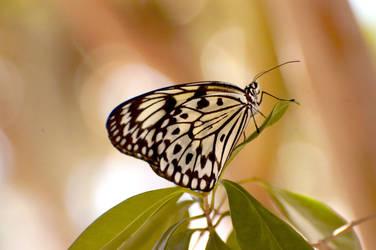 Butterfly by clunglaub