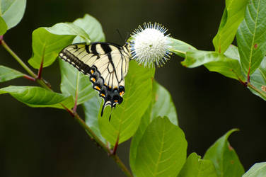 Giant Yellow Swallowtail Butterfly by clunglaub