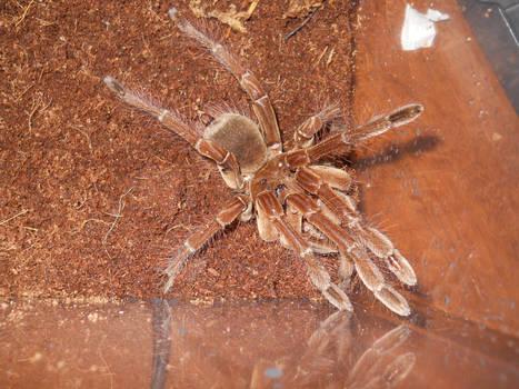 My 2nd Goliath spider