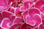 cool pinks