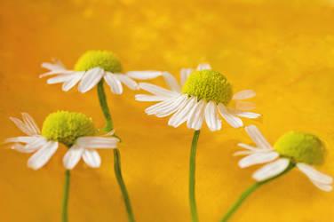 golden margaritas by photofairy
