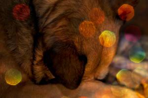 dingo x by photofairy
