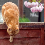 i cho cho choose you