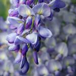 wisteria by photofairy