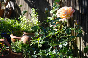 my rose garden by photofairy