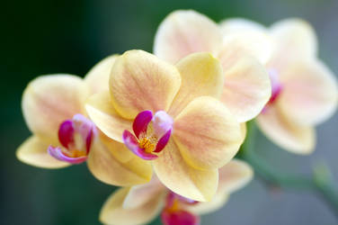 yellow orchid by photofairy