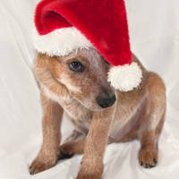 doggie Santa by photofairy