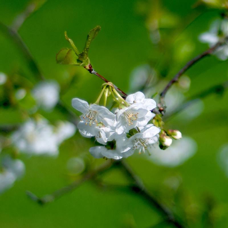 white blossom by photofairy