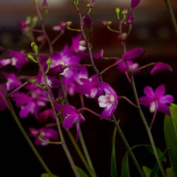 Dendrobium orchid by photofairy