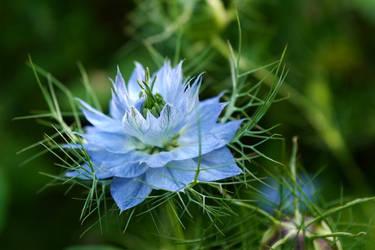nigella flower by photofairy